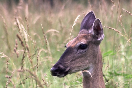 white tail deer head shot photo