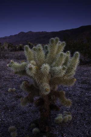 cholla cactus at dusk photo