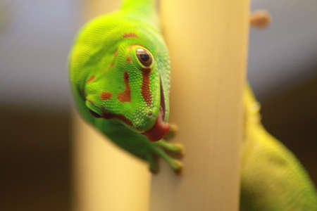 gecko sticking it s tounge out