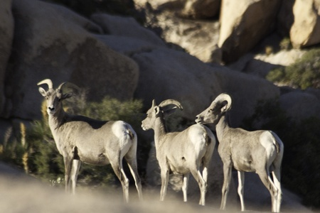 wild big horn sheep