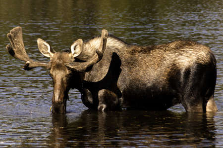 Bull Moose Grazing in a Lake