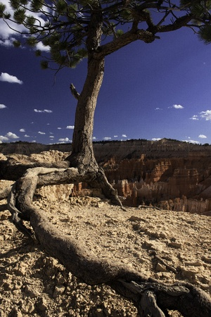Desert Tree - Bryce Canyon National Park, UT Stock Photo