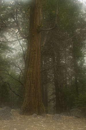 Redwood in the Fog - Yosemite National Park, CA photo