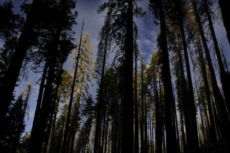 Redwood Silhouettes - Yosemite National Park, CA Stock Photo - 13779962