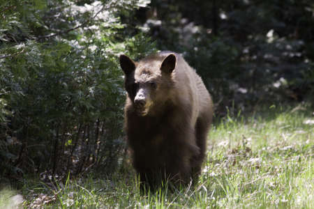 California Black Bear - Yosemite National Park, California photo