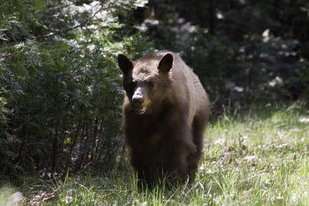 California Black Bear - Yosemite National Park, California photo