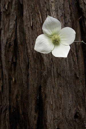 Dogwood Bloom - Yosemite National Park, California