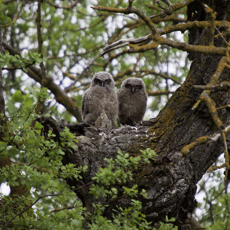 Great Horned Owl Couple Stock Photo