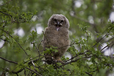 Great Horned Owl with a Funny Expression photo