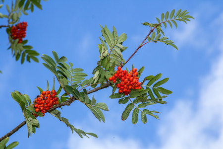 Red rowan tree in the end of summer, nature background