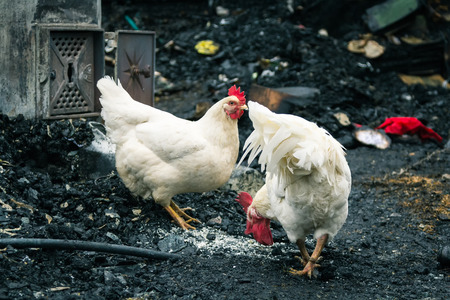 chicken after a fire in a rural house, animal scene