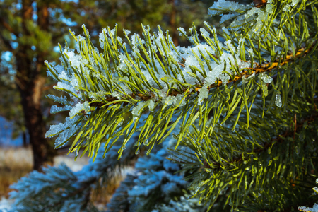 green pine branch covered with snow in sunny day, natural background