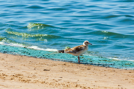seagull on the Baltic sea beach during the bloom of blue-green algae July