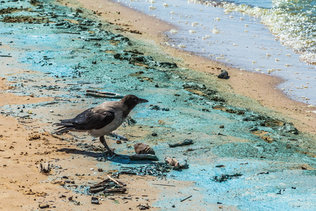 Crow on the Baltic sea beach during the bloom of blue-green algae in July