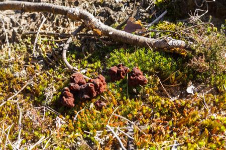 Mushrooms Gyromitra in forest in spring, wildlife scene Stock Photo - 121890224
