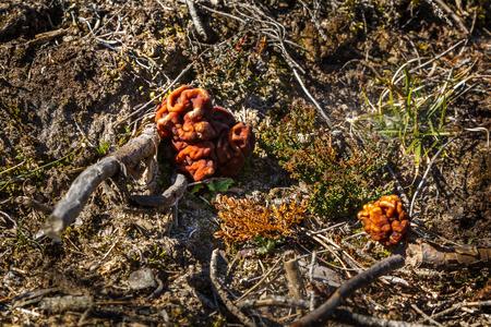 Mushrooms Gyromitra in forest in spring, wildlife scene Stock Photo - 121890233