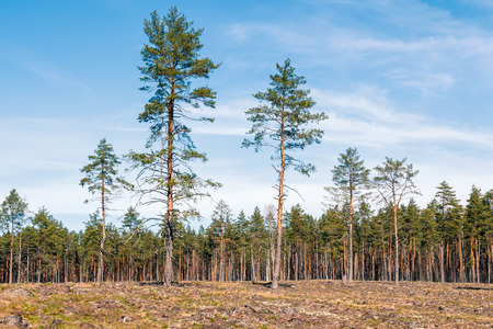 Pine tree forest in April in in Latvia, natural background Stock Photo - 121890250