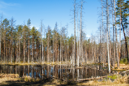 Pine tree forest in April in in Latvia, natural background
