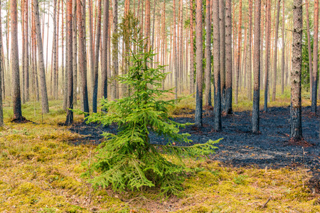 Forest after wildfire in spring,disaster background Foto de archivo