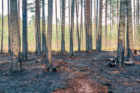 Forest after wildfire in spring,disaster background Stock Photo - 121890260