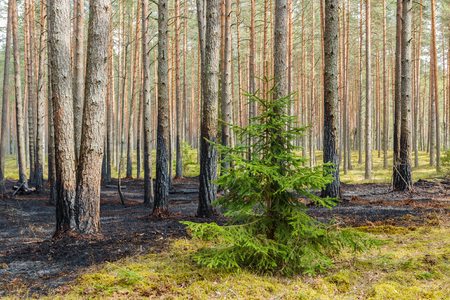 Forest after wildfire in spring,disaster background Stock Photo