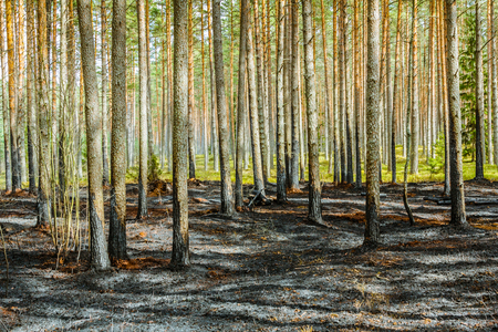 Forest after wildfire in spring,disaster background Stock Photo - 121890265