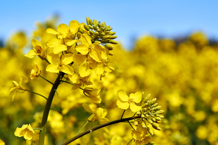 blooming rapeseed field in spring in May Stock Photo