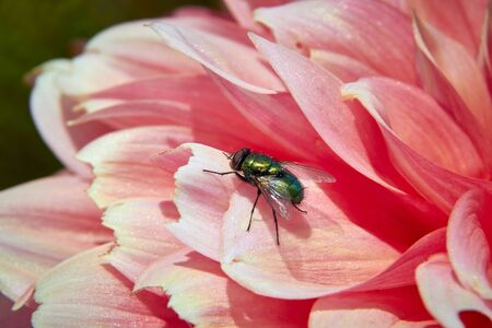 Macro of  fly is sitting on pink flower
