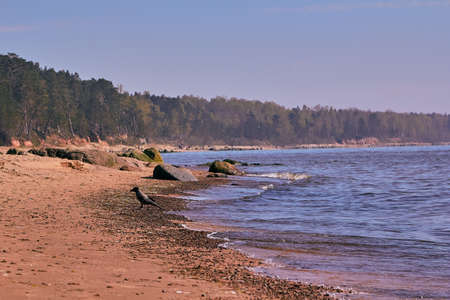 Crow on the Baltic sea rocky beach next to Tuja, Latvia in May Stock Photo