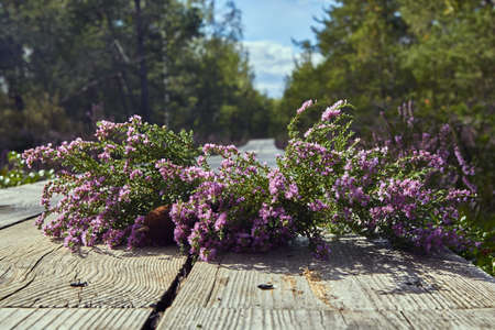 Purple flowers of heather in the forest in the end of summer