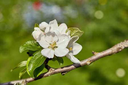 blossom apple tree in spring, natural background