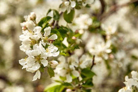 bee is pollinating a blossom apple tree in spring, natural background Stock Photo