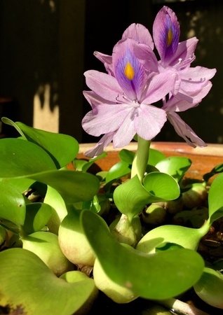 practically: The water Hyacinth with its purple flowers are popular pond plants. It practically grows without needing much care at all.