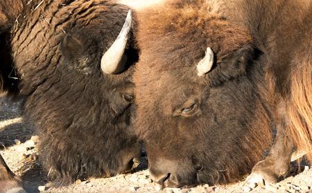 American Buffalo Eating