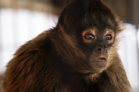 Brown Spider Monkey Imagens