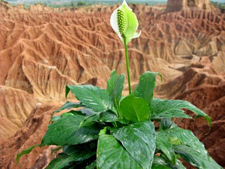 Grand flower white and green in the soil desert Stock Photo - 5665570