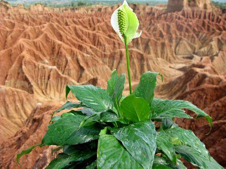 Grand flower white and green in the soil desert Stock Photo - 5665570