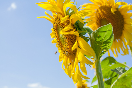 flowers sun: sun flowers field in Thailand,sunflowers