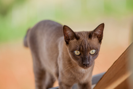 gray cat: siamese thai,gray cat