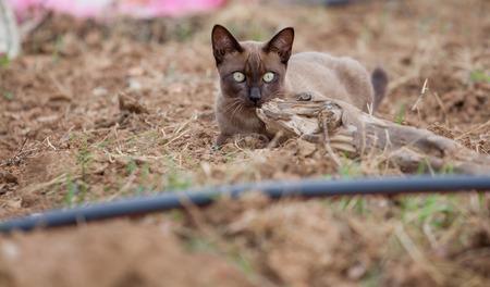 siamese thai,gray cat