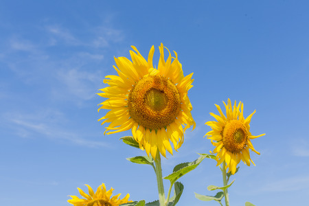 sun flowers field in Thailand,sunflowers