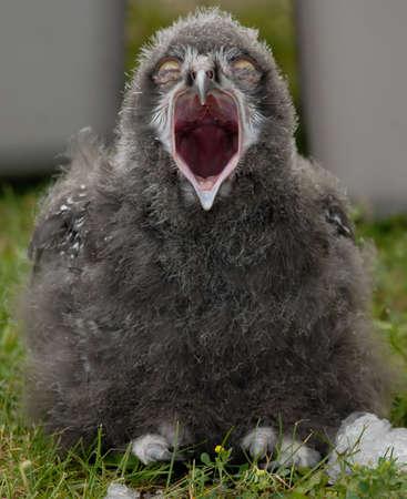 Photo of Snowy  Owl