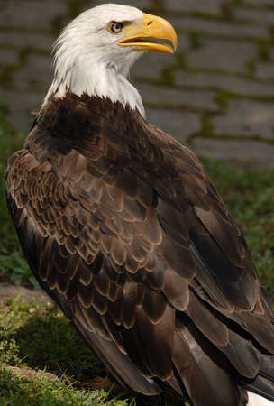 tethered: Photo of tethered Bald Eagle Stock Photo