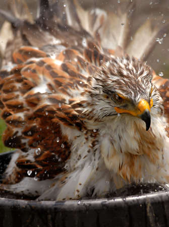 Photo of tethered Ferruginous Rough-Legged Hawk bathing in a tub of water.