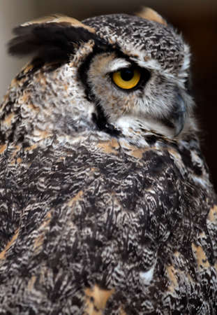 Photo of tethered Great Horned Owl Фото со стока