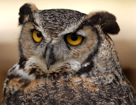 Photo of tethered Great Horned Owl photo