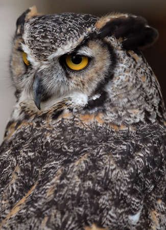 Photo of tethered Great Horned Owl Stock Photo