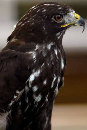tethered: Photo of tethered Harlans Hawk Stock Photo