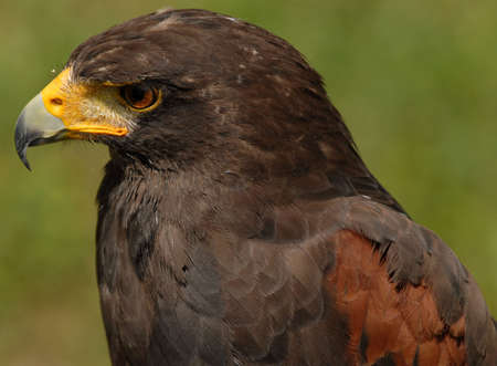 Photo of tethered Harris Hawk