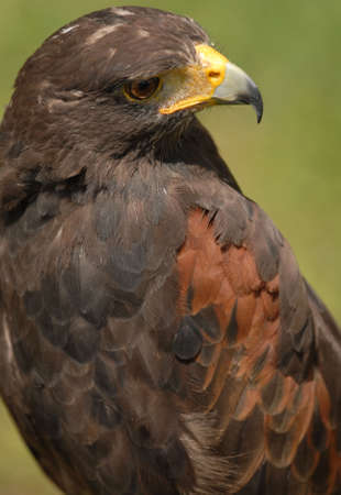 tethered: Photo of tethered Harris Hawk